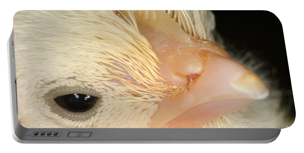 Animal Portable Battery Charger featuring the photograph White Leghorn Chick by Ted Kinsman