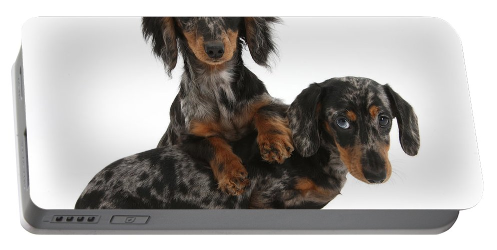 Animal Portable Battery Charger featuring the photograph Dachshund Pups by Mark Taylor