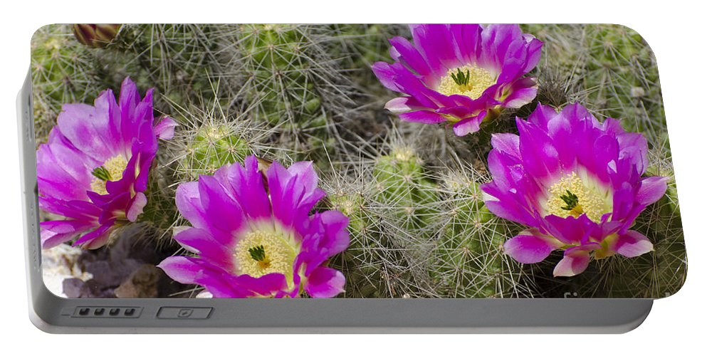 Cactus Portable Battery Charger featuring the photograph Pink Cactus Flowers by Jim And Emily Bush