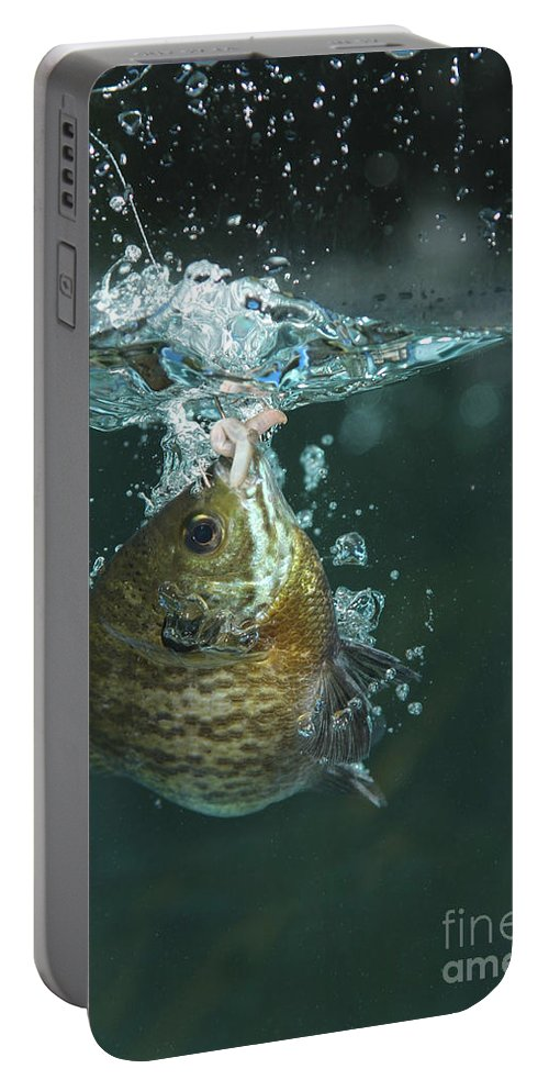Animal Portable Battery Charger featuring the photograph A Hooked Bluegill by Ted Kinsman