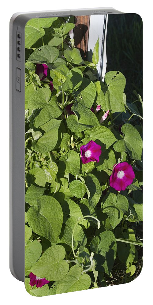 Ipomoea Pandurata Portable Battery Charger featuring the photograph Alabama Wild Pink Morning Glories by Kathy Clark