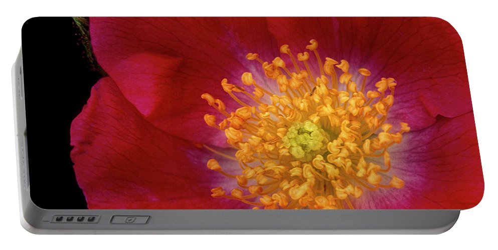 Climbing Rose Portable Battery Charger featuring the photograph American Pillar Climbing Rose by Dave Mills