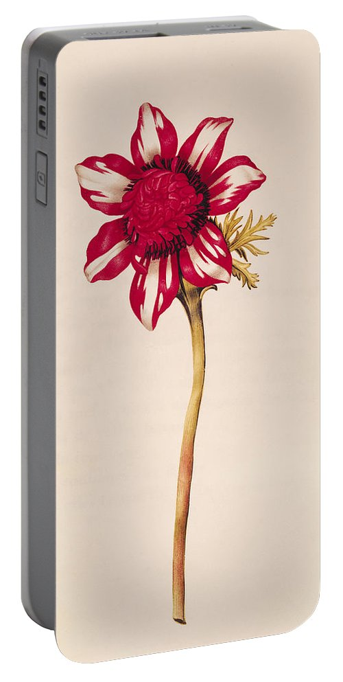 L'anemone; Flower; Botany Portable Battery Charger featuring the painting Anemone by Nicolas Robert