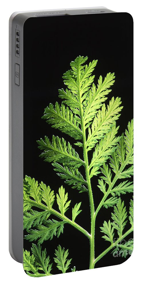 Annual Wormwood Portable Battery Charger featuring the photograph Annual Wormwood by Science Source