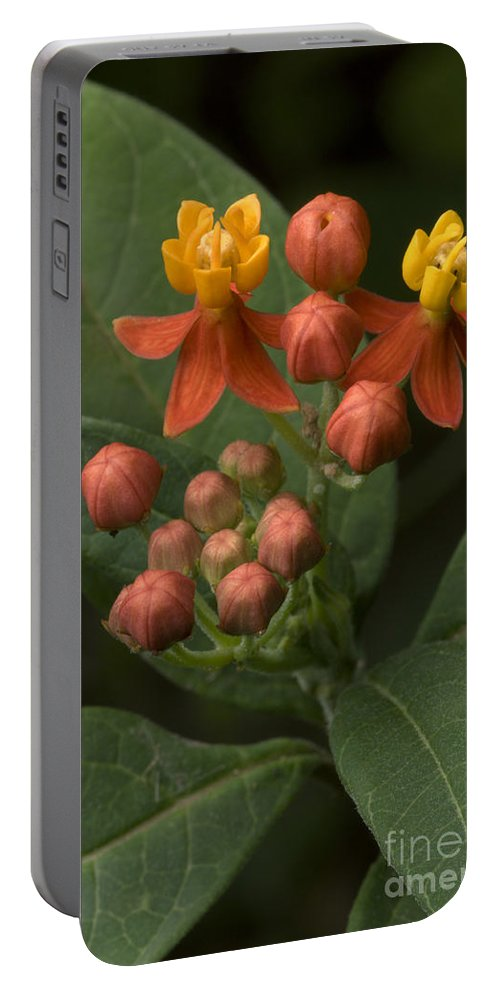 Plant Portable Battery Charger featuring the photograph Asclepias Curassavica by Raul Gonzalez Perez