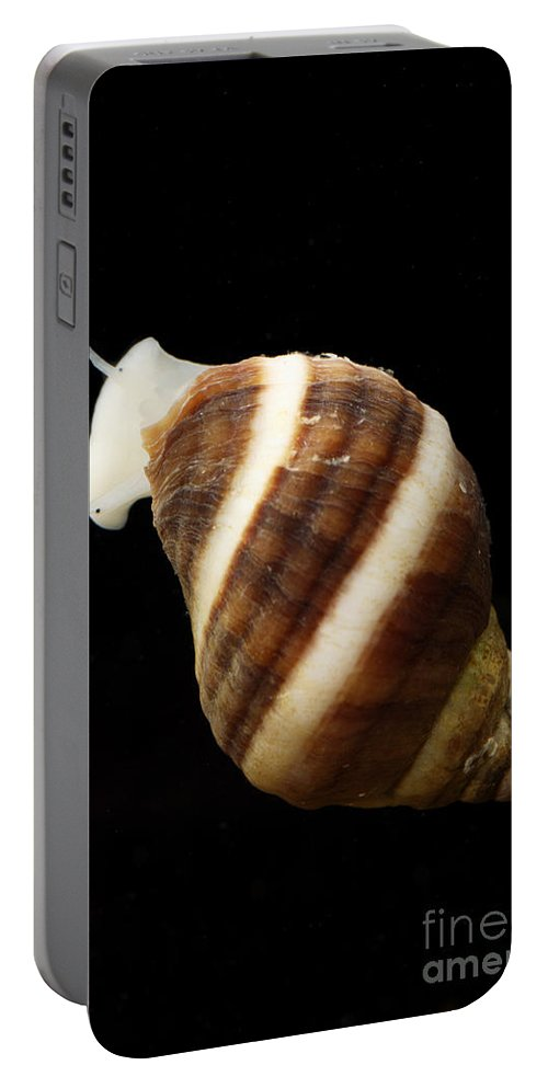Animal Portable Battery Charger featuring the photograph Atlantic Dogwhelk by Ted Kinsman