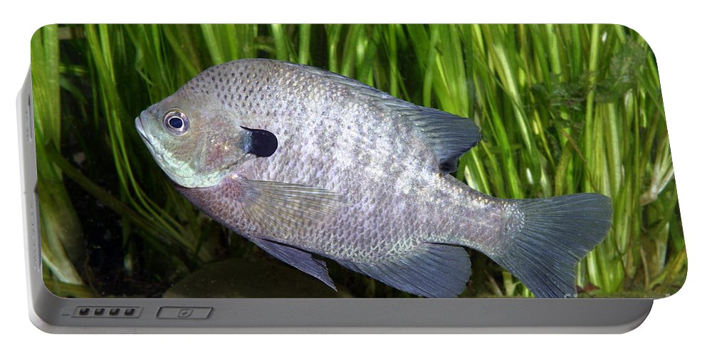 Freshwater Portable Battery Charger featuring the photograph Bluegill Lepomis Macrochirus by Ted Kinsman
