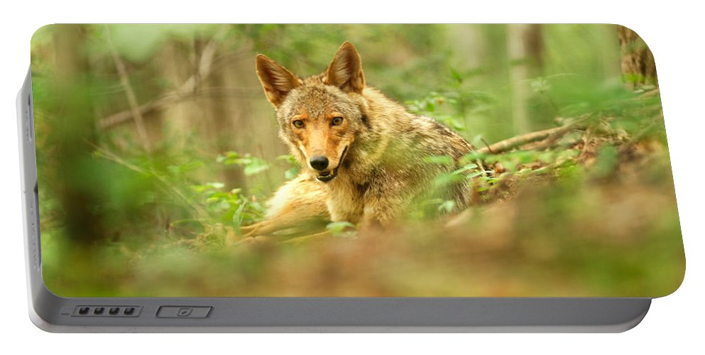 Coyote Portable Battery Charger featuring the photograph Coyote Caught Napping by Randall Branham