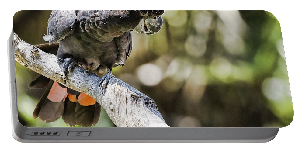 Red Tailed Black Cockatoo Portable Battery Charger featuring the photograph Curious V2 by Douglas Barnard