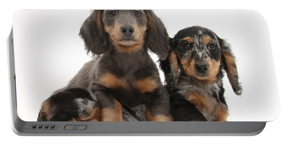 Animal Portable Battery Charger featuring the photograph Dachshund And Merle Dachshund Pups by Mark Taylor