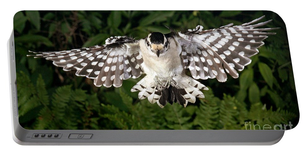 Songbirds Portable Battery Charger featuring the photograph Downy Woodpecker In Flight by Ted Kinsman