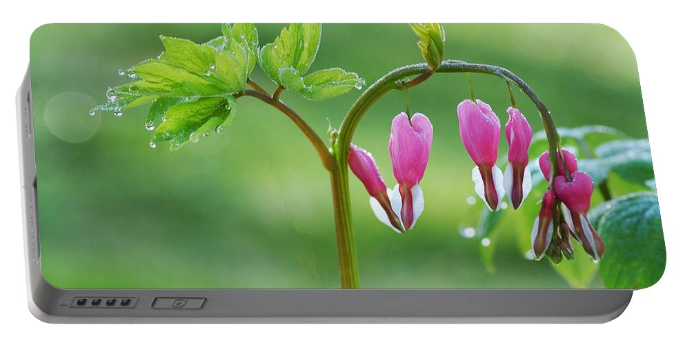Bleeding Hearts Portable Battery Charger featuring the photograph Dripping With Heart by Lynn Bauer
