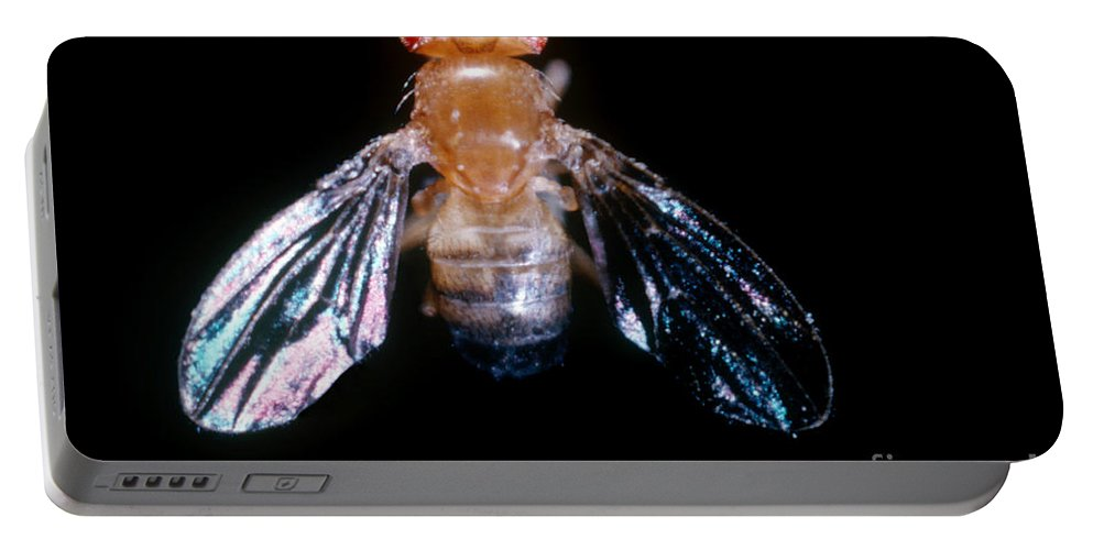 Macro Photo Portable Battery Charger featuring the photograph Drosophila With Dichaete Wings by Science Source