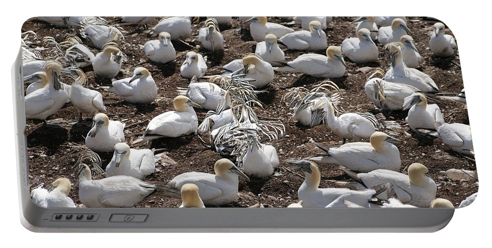 Northern Gannet Portable Battery Charger featuring the photograph Gannets Showing Fencing Behavior by Ted Kinsman