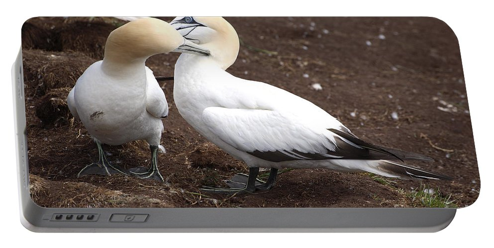 Northern Gannet Portable Battery Charger featuring the photograph Gannets Showing Mutual Preening Behavior by Ted Kinsman