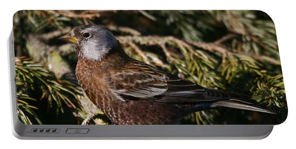 Doug Lloyd Portable Battery Charger featuring the photograph Gray-crowned Rosy Finch by Doug Lloyd