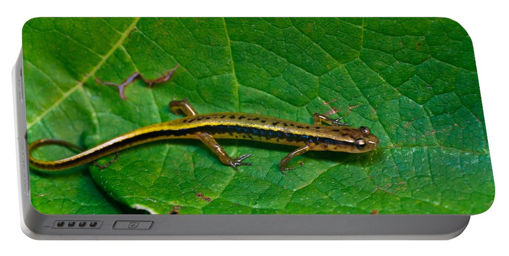 Eurycea Portable Battery Charger featuring the photograph Lined Salamander 3 by Douglas Barnett