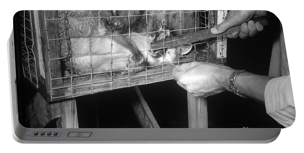 Rabies Portable Battery Charger featuring the photograph Rabid Fox, 1958 by Science Source