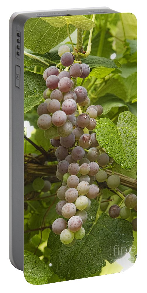 Red Grapes Portable Battery Charger featuring the photograph Red Grapes On The Vine by James BO Insogna