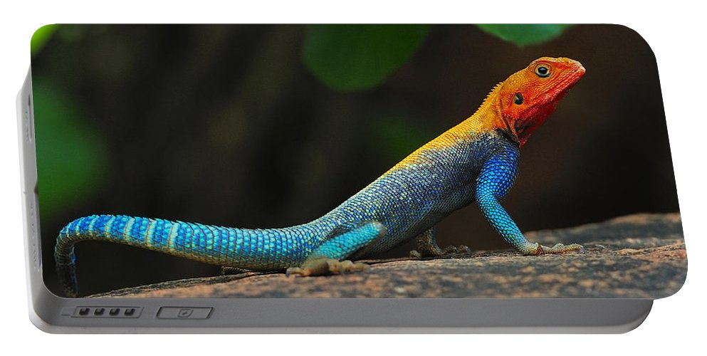 Common Agama Portable Battery Charger featuring the photograph Red-headed Agama by Tony Beck
