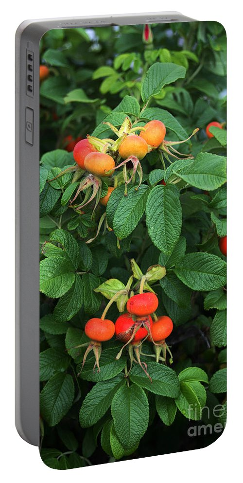 Biology Portable Battery Charger featuring the photograph Rugosa Rose With Rose Hips by Ted Kinsman