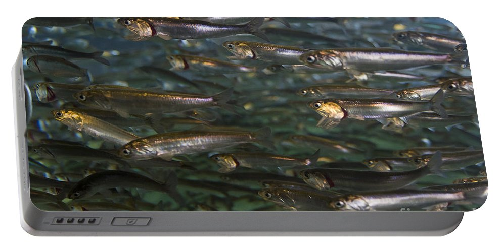 Aquarium Portable Battery Charger featuring the photograph Sardines Anyone by Darcy Michaelchuk