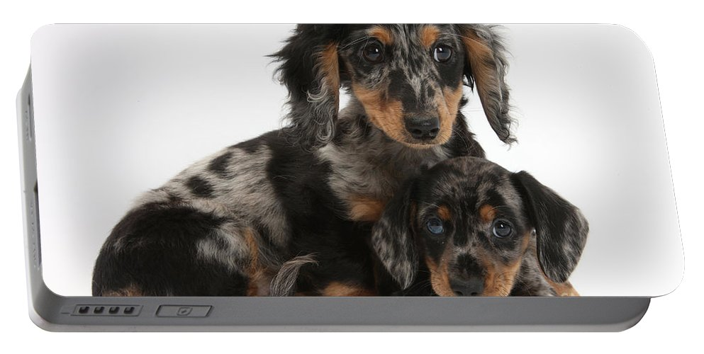 Animal Portable Battery Charger featuring the photograph Tricolor Dachshund Puppies by Mark Taylor