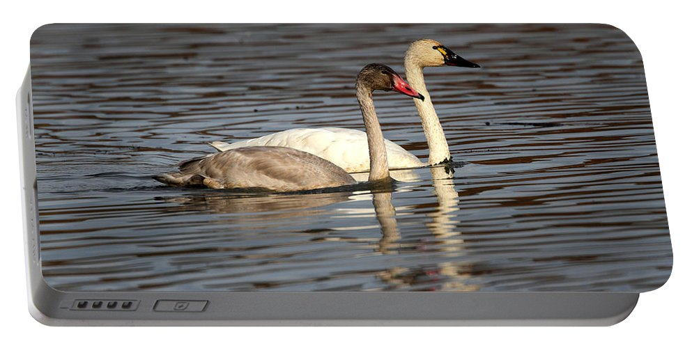 Doug Lloyd Portable Battery Charger featuring the photograph Tundra Swan And Cygnet by Doug Lloyd