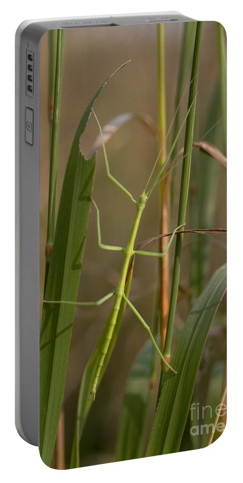 Animal Portable Battery Charger featuring the photograph Walking Stick Insect by Ted Kinsman
