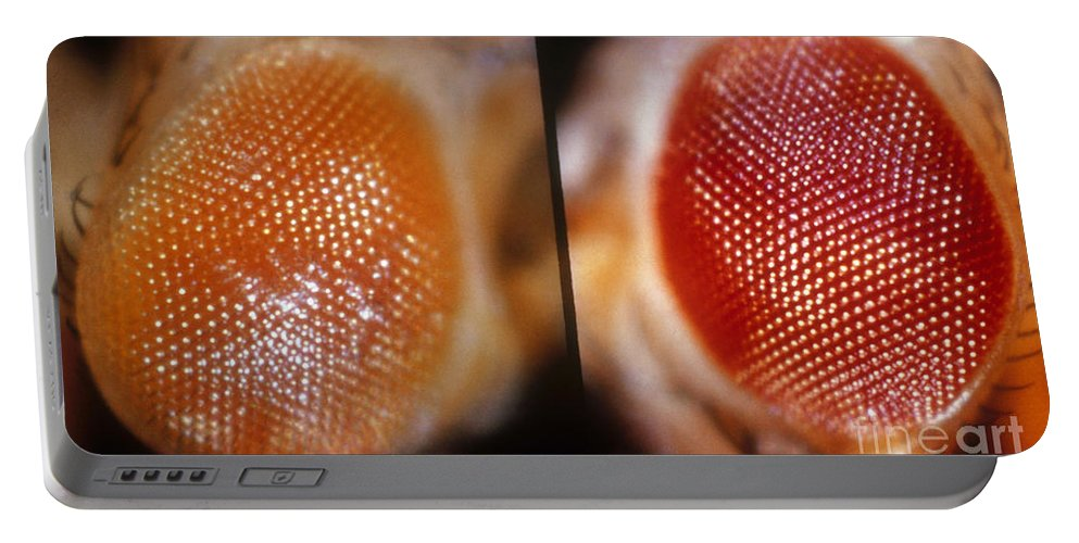 Macro Photo Portable Battery Charger featuring the photograph Wild & White-eosin Eyes In Drosophila by Science Source