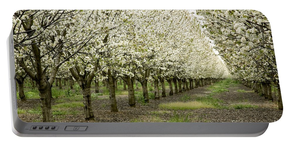 Cherry Portable Battery Charger featuring the photograph A Flowering Cherry Orchard by Inga Spence