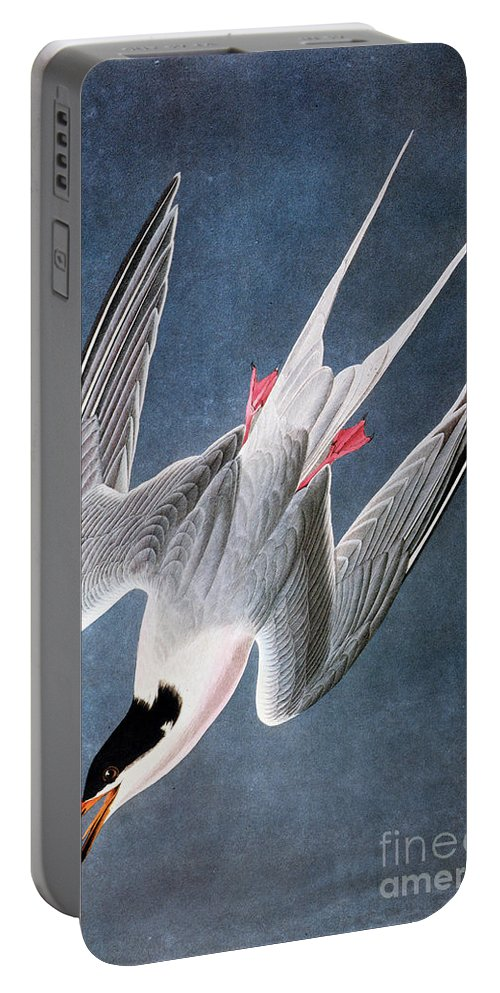 1838 Portable Battery Charger featuring the photograph Audubon: Tern by Granger
