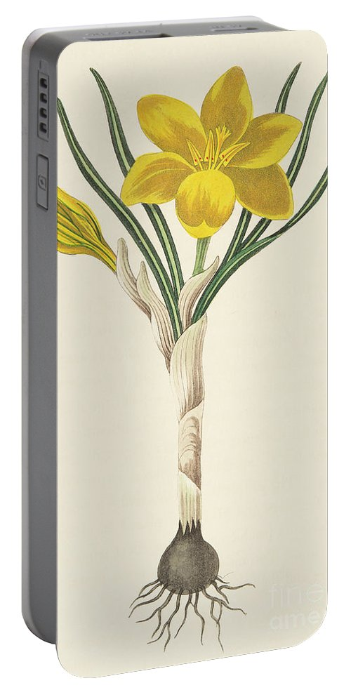Bulb Portable Battery Charger featuring the drawing Common Yellow Crocus by Margaret Roscoe