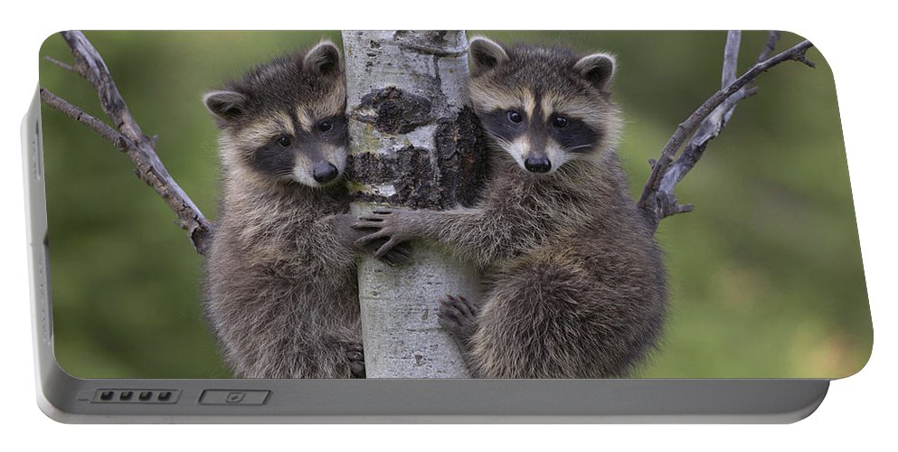 00176520 Portable Battery Charger featuring the photograph Raccoon Two Babies Climbing Tree North by Tim Fitzharris