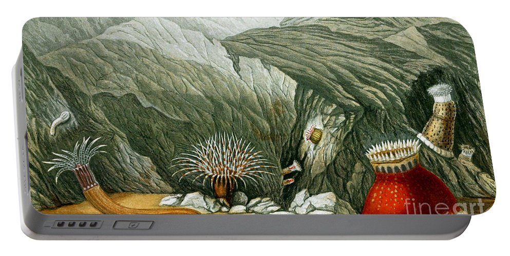 Sea Anemone Portable Battery Charger featuring the photograph Sea Anemones, 1860 by Biodiversity Heritage Library