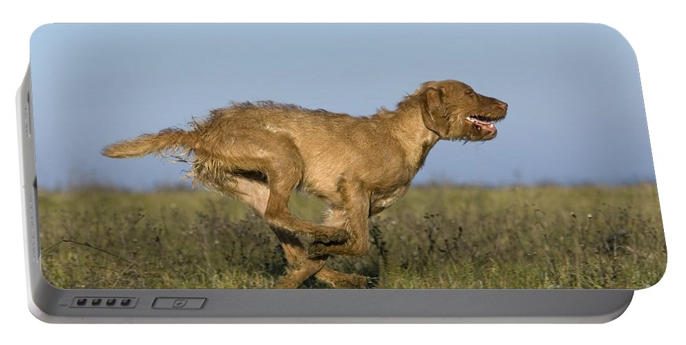 Hungarian Pointing Dog Portable Battery Charger featuring the photograph Wirehaired Vizsla Running by Jean-Louis Klein & Marie-Luce Hubert