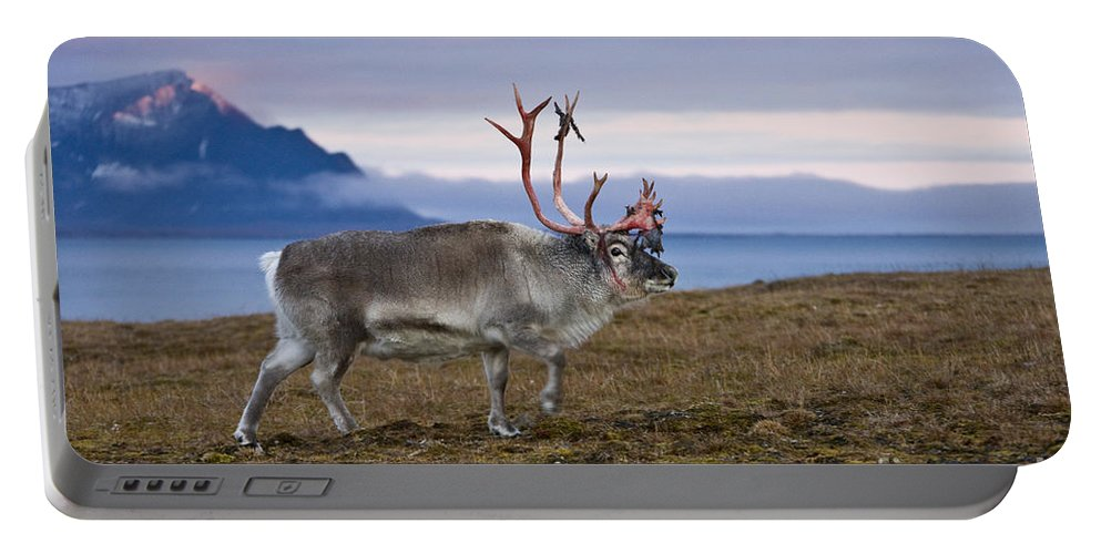 Reindeer Portable Battery Charger featuring the photograph Reindeer Shedding Velvet by Jean-Louis Klein & Marie-Luce Hubert