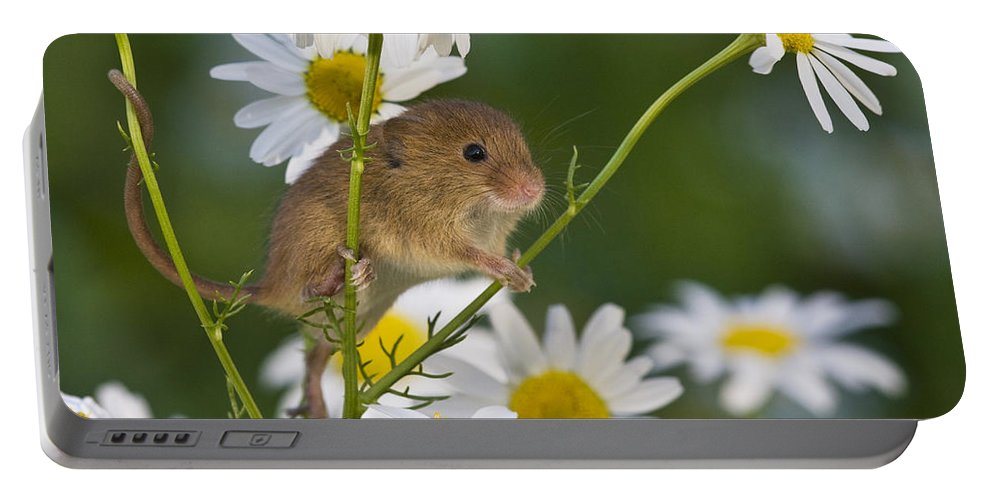 Eurasian Harvest Mouse Portable Battery Charger featuring the photograph Young Eurasian Harvest Mouse by Jean-Louis Klein & Marie-Luce Hubert