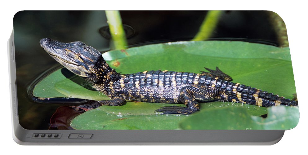 Amphibian Portable Battery Charger featuring the photograph A Baby Alligator Resting On A Lilly Pad by John Harmon