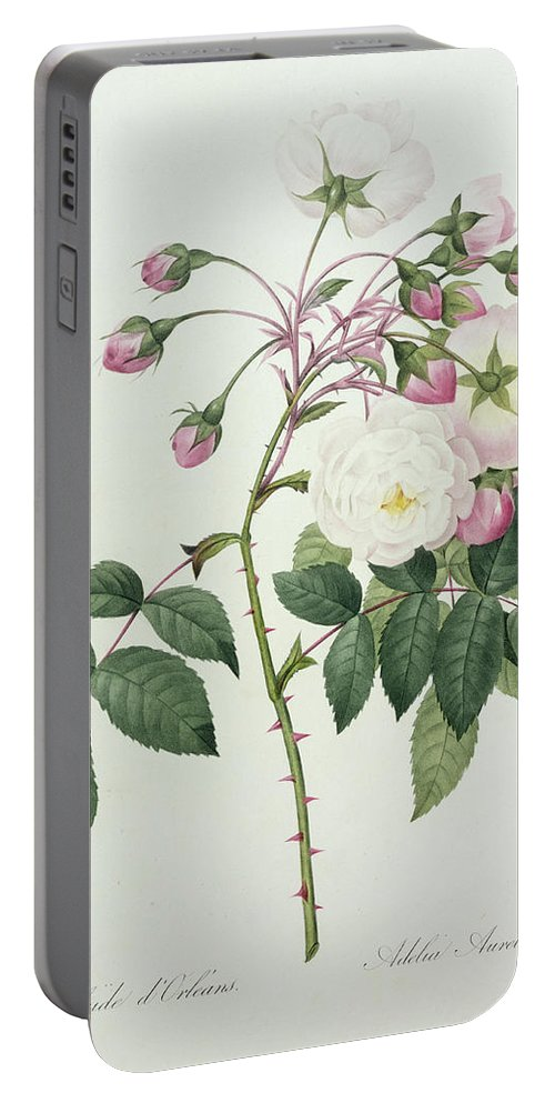 Adelia Portable Battery Charger featuring the drawing Adelia Aurelianensis by Pierre Joseph Redoute