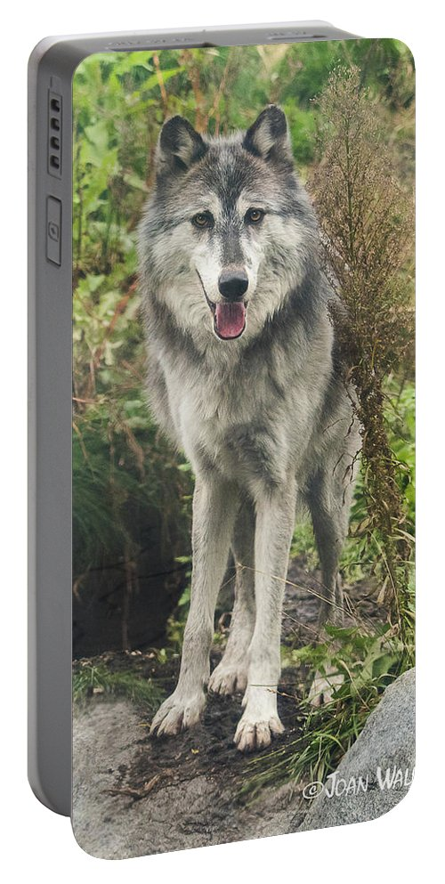 Gray Wolf Portable Battery Charger featuring the photograph Beautiful Gray Wolf by Joan Wallner