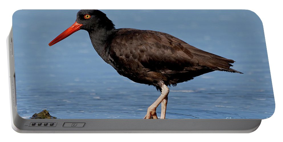 Black Oystercatcher Portable Battery Charger featuring the photograph Black Oystercatcher Stroll by Sue Harper
