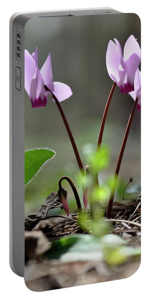 Lachish Portable Battery Charger featuring the photograph Blossom Of Cyclamens by Dubi Roman
