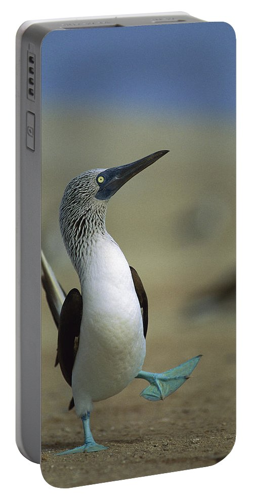 Blue-footed Booby Portable Battery Charger featuring the photograph Blue-footed Booby Sula Nebouxii by Tui De Roy