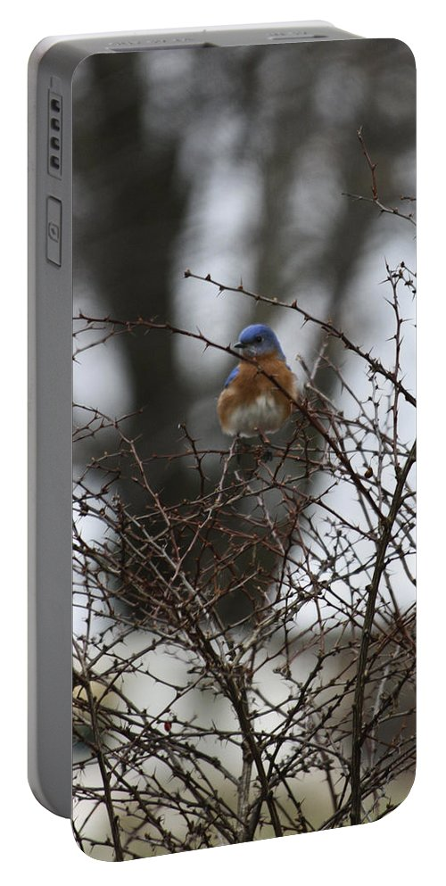 Eastern Portable Battery Charger featuring the photograph Bluebird In Briars by Teresa Mucha