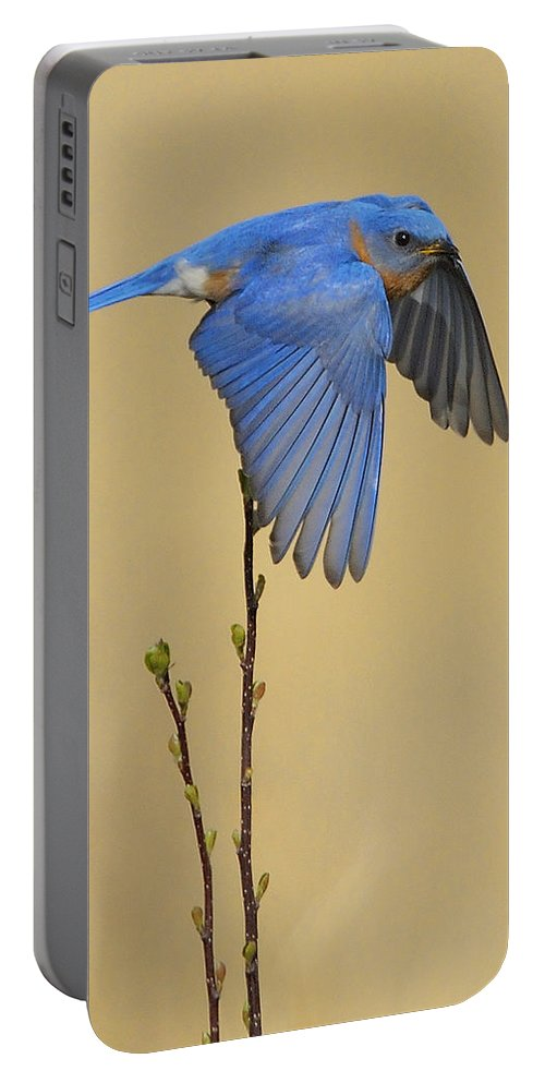 Bluebird Portable Battery Charger featuring the photograph Bluebird Takes Flight by William Jobes