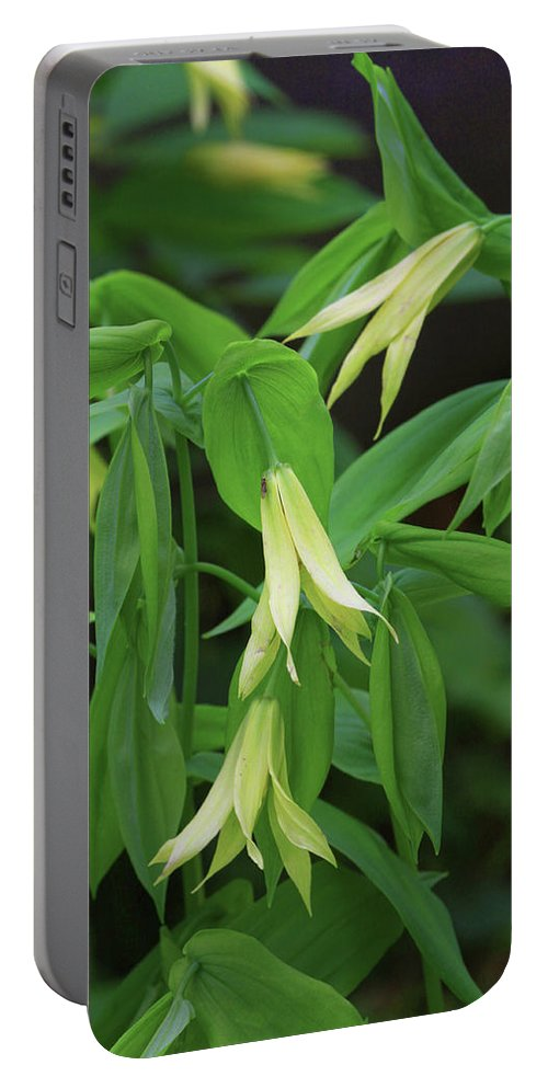 Plant Botanical Flower Bloom Yellow Uvularia Perfoliata Cowbells Wood Daffodil Merry Bells Photograph Photography Digital Fine Art Nature Natural Woods Wildflower Forest Portable Battery Charger featuring the photograph Bountiful Bellwort by Shari Jardina