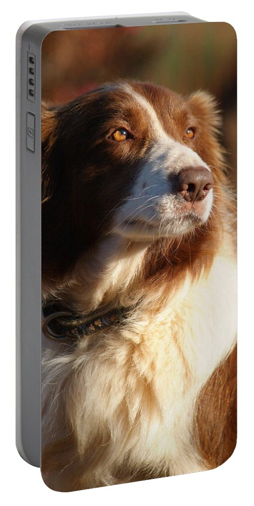 Border Collie Portable Battery Charger featuring the photograph Brown Border Collie by Tracey Beer
