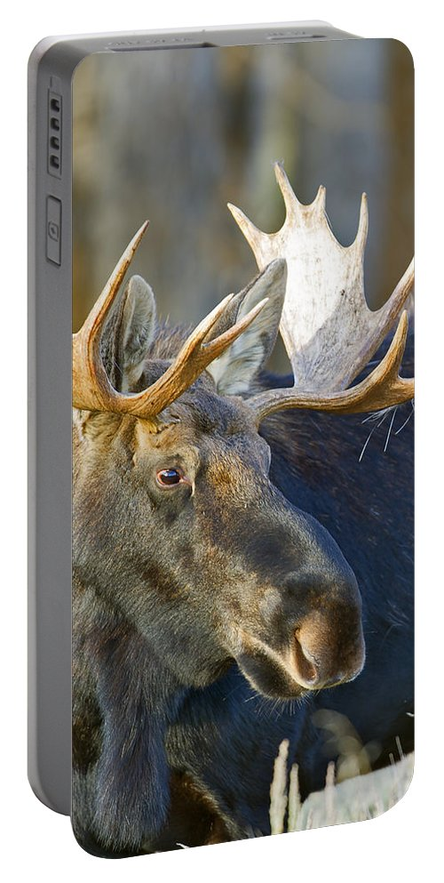Bull Portable Battery Charger featuring the photograph Bull Moose Up Close by Gary Langley