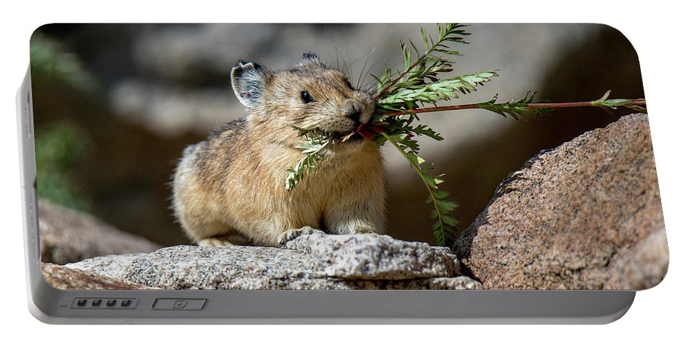 American Pika Portable Battery Charger featuring the photograph Busy As A Pika by Judi Dressler